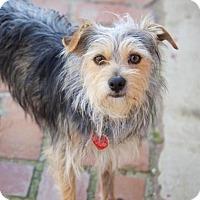 Adopt A Pet :: Evan - Van Nuys, CA