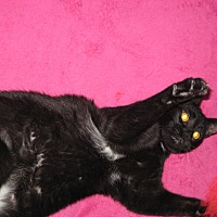 Adopt A Pet :: Meryl - Eastpointe, MI