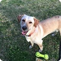 Adopt A Pet :: Sadee - St Louis, MO