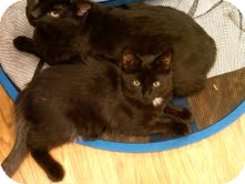 Domestic Mediumhair Cat for adoption in Medina, Ohio - Ollie