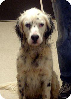 English Springer Spaniel Dog for adoption in Greencastle, North Carolina - Briar