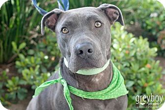 Pit Bull Terrier Mix Dog for adoption in Mission Viejo, California - Bruno