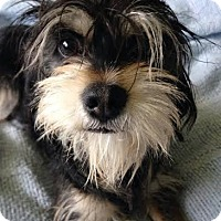 Adopt A Pet :: Whiskers - Essex Junction, VT