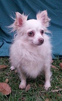 Chihuahua Dog for adoption in Mobile, Alabama - Molly