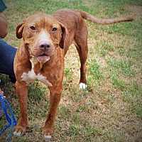 Pit Bull Terrier Dog for adoption in Ocala, Florida - CHICO