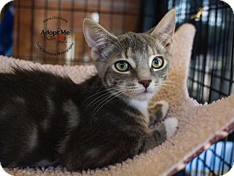 Domestic Shorthair Kitten for adoption in Charlotte, North Carolina - A..  Milford