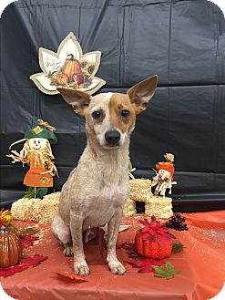 Australian Cattle Dog/Terrier (Unknown Type, Small) Mix Dog for adoption in Augusta, Maine - A - BAMBI