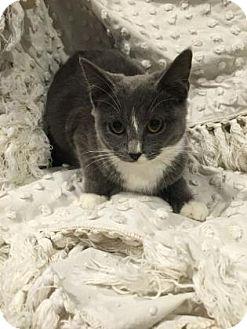 Domestic Shorthair Kitten for adoption in Paducah, Kentucky - Regina