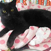 Domestic Mediumhair Cat for adoption in McKinleyville, California - EVE