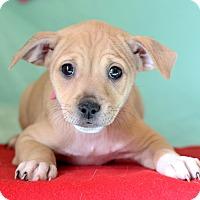 Adopt A Pet :: Hazel - Waldorf, MD
