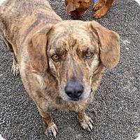 Adopt A Pet :: Stripes - Urbana, OH
