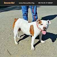 American Staffordshire Terrier/Dogue de Bordeaux Mix Dog for adoption in Norco, California - Charlotte