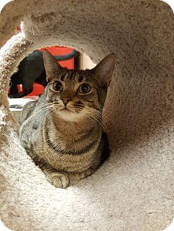 Domestic Shorthair Cat for adoption in Smithfield, North Carolina - Barnes (SPECIAL ADOPTION FEE)