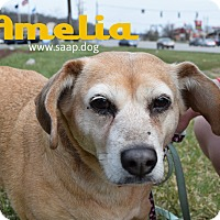 Adopt A Pet :: Amelia - Newport, KY