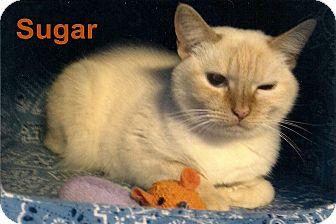 Domestic Shorthair Cat for adoption in Medway, Massachusetts - Sugar