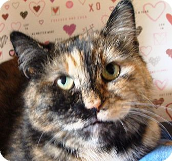 Domestic Shorthair Cat for adoption in Albany, New York - Evie