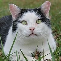 Domestic Shorthair Cat for adoption in Monroe, North Carolina - Adoptable Pawley