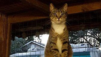 Domestic Shorthair Cat for adoption in Columbia, South Carolina - Thomas