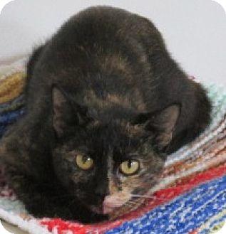 Domestic Shorthair Cat for adoption in Aiken, South Carolina - JANAY