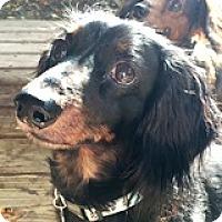 Adopt A Pet :: Beaux Bonus - Houston, TX