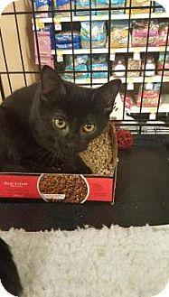 Domestic Shorthair Kitten for adoption in Hazlet, New Jersey - Benny