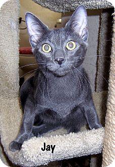 Domestic Shorthair Kitten for adoption in Oklahoma City, Oklahoma - Jay