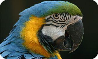 Macaw for adoption in Vancouver, Washington - Pah Pah Pending Adoption