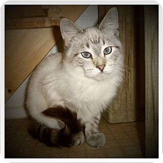 Siamese Cat for adoption in Medford, Wisconsin - BAXTER