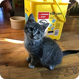 Domestic Shorthair Cat for adoption in Grand Junction, Colorado - Tough Cream Puff