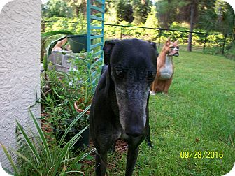 Greyhound Dog for adoption in Sarasota, Florida - RJ's Etna
