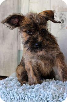 Terrier (Unknown Type, Medium) Mix Puppy for adoption in Waldorf, Maryland - James