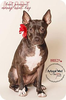 Staffordshire Bull Terrier/American Pit Bull Terrier Mix Dog for adoption in Lake Worth, Florida - Easy Breezy