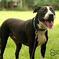 American Staffordshire Terrier Mix Dog for adoption in Sarasota, Florida - Butterfly