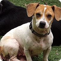 Adopt A Pet :: Bea (10 lb) LOVING Lil' Girl - West Sand Lake, NY