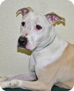 Pit Bull Terrier Mix Dog for adoption in Port Washington, New York - Princess