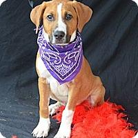 Adopt A Pet :: Rocky Balboa - Plano, TX