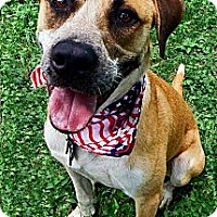 American Staffordshire Terrier/Australian Cattle Dog Mix Dog for adoption in Converse, Texas - T-Dog