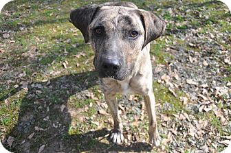 Catahoula Leopard Dog Mix Dog for adoption in Winnsboro, South Carolina - Marble