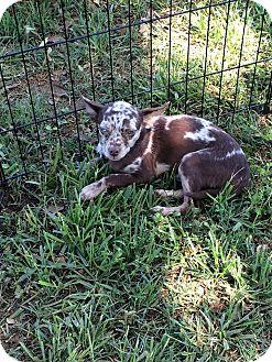 Chihuahua/Dachshund Mix Dog for adoption in Wyanet, Illinois - Lando