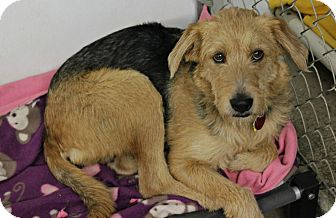 Airedale Terrier Mix Puppy for adoption in New Richmond,, Wisconsin - Millie