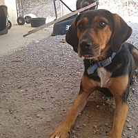 Black and Tan Coonhound/Doberman Pinscher Mix Dog for adoption in Bryson City, North Carolina - Darbie