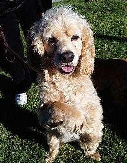 Cocker Spaniel Dog for adoption in Santa Barbara, California - Scooter