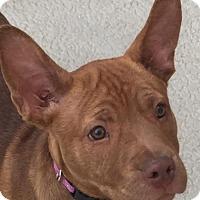Adopt A Pet :: Bella - Crestline, CA