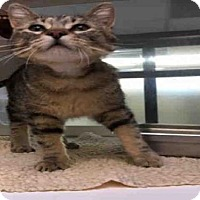 Domestic Mediumhair Cat for adoption in Fort Collins, Colorado - CATRICK SWAYZE