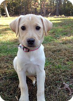 Beagle/Dachshund Mix Puppy for adoption in Richmond, Virginia - Cinnamon
