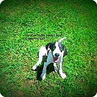 Adopt A Pet :: Walter - Gadsden, AL