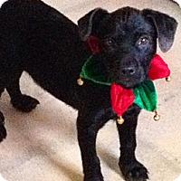 Adopt A Pet :: BITSY - Glastonbury, CT
