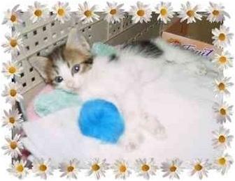 Siamese Kitten for adoption in KANSAS, Missouri - Baby Raine