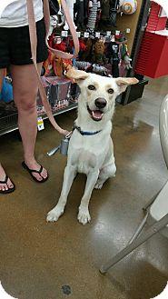 Labrador Retriever/Labrador Retriever Mix Dog for adoption in ST LOUIS, Missouri - Sunny aka Yahtzee