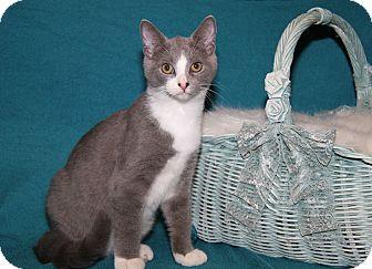 Domestic Shorthair Kitten for adoption in Marietta, Ohio - Kennedy (Neutered)
